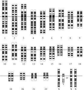 Human Genome (Karyotype)